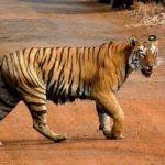 चितवन राष्ट्रिय निकुञ्जमा बाक्लै देखिन थाले बाघ,सावधानी अपनाएर घुम्न  अनुरोध