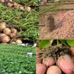 आलु खेतीबाट गत वर्ष निराश भएका ताप्लेजुङका कृषक यस बर्ष उत्पादन वृद्धि भएपछि छन् खुशीले फुरुगं