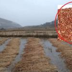 मार्सी धान फल्ने जुम्लाका फाँटमा बाढी पस्यो